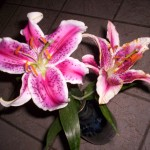 Star lilies in bloom.