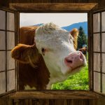 cow looking in window