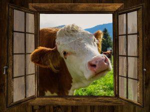 cow looking in window